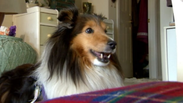 The Mayfield Veterinary Hospital charged $4,800 to remove 16 teeth from Libby, a 12-year-old Sheltie.
