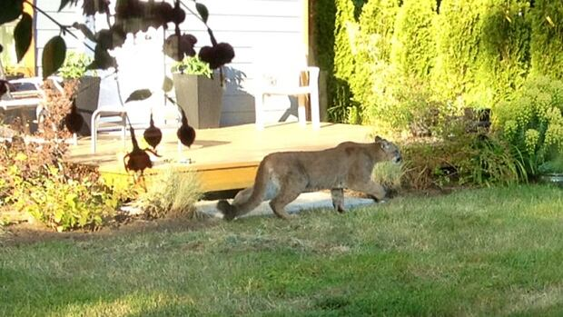 This photo was taken by Langford, B.C. resident, who spotted the second cougar in her back yard near the Galloping Goose Trail.