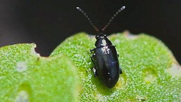 Flea beetles are attacking people's vegetable gardens and even some flowers this spring.