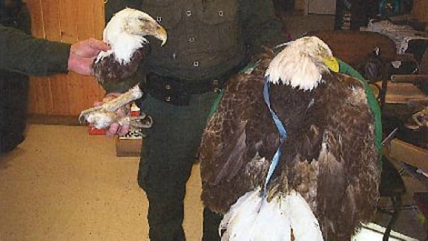 Siblings Terry and Harlin Daniels will have to pay a combined fine of $8,500 after pleading guilty to trafficking in eagle parts. These eagles were seized from the family acreage on Morley, Alta.