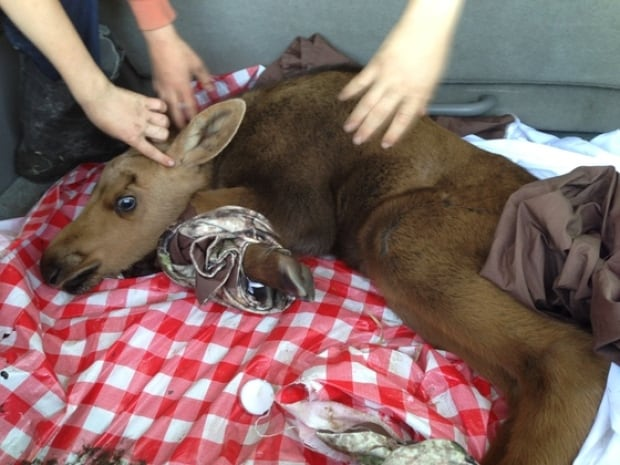 Baby moose rescued after mother killed