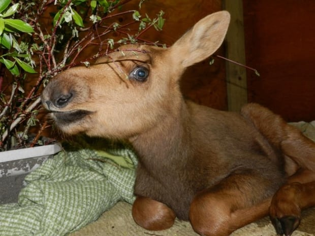 Baby moose at Moose Mountain R & R Wildlife Rehabilitation skpic