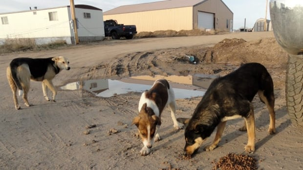 Across Canada, stricter bylaws, educational workshops, and sterilization campaigns are being employed to get the stray dog problem under control in remote First Nations communities.