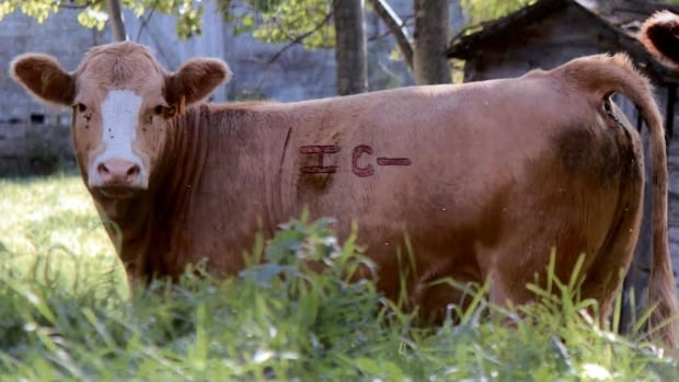 A photo of the cattle RCMP previously believed to have been missing.