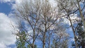defoliated trees
