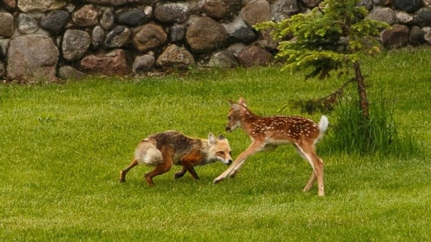 A fox and a fawn caught the attention of a wedding party on the weekend.