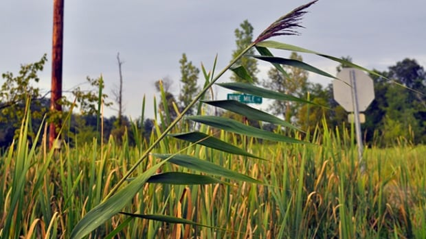 Invasive species, phragmites, is killing habitats along the Great Lakes, wetlands, creeks and highways.