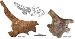 Twin skull bones of Mercuriceratops