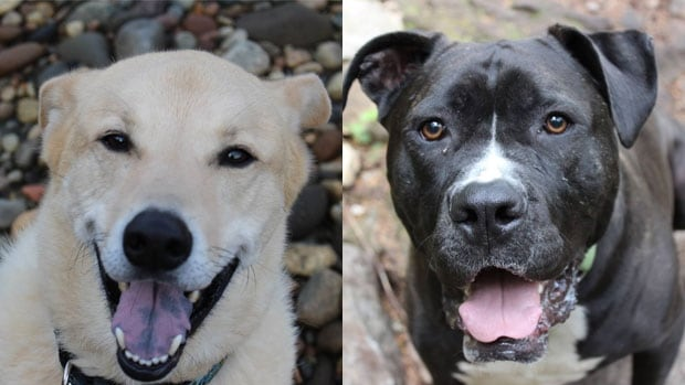 "A blood transfusion as a puppy saved the life of Jake (L). Lexa (R) is a universal dog blood donor and has ""volunteered"" to help more of her fellow pooches."