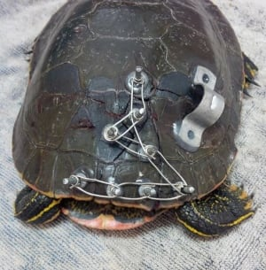 Injured painted turtle