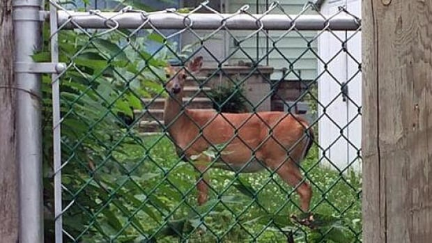 A deer was running wild in the area of Howard Avenue and Elliott Street East on Wednesday.
