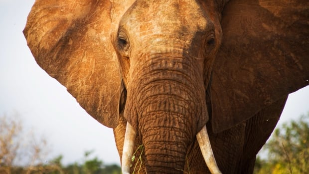 An elephant is pictured in Tsavo East National Park in southern Kenya on Jan. 31, 2013.