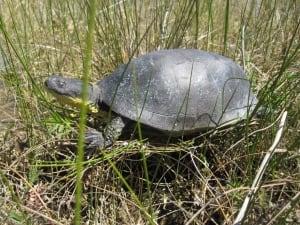 Blandings turtle decoy