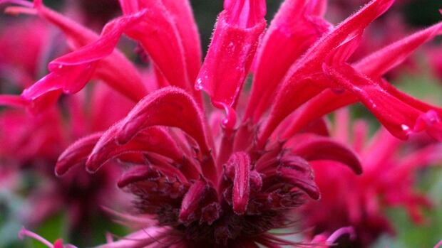 The Bee Balm flower.