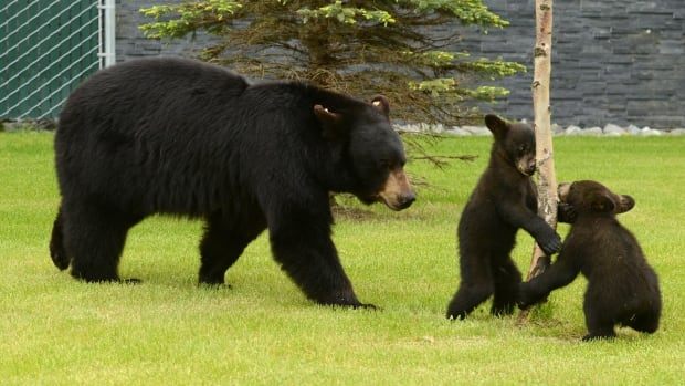 A mother black bear and her cubs  in Alaska. A brown bear attack on a soldier in Anchorage was the second bear attack on a soldier from the base in two months.