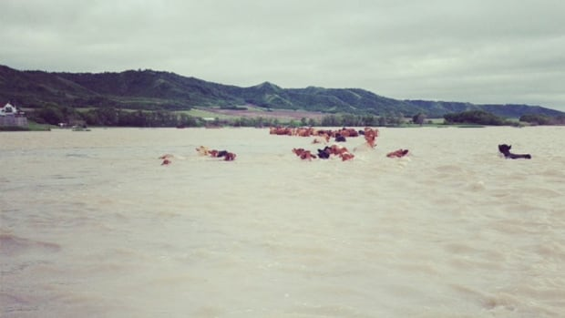 About 30 head of cattle swam to safety. One calf needed some help.