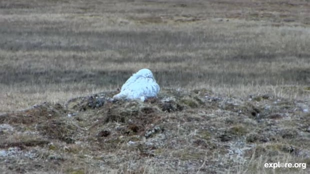 At 8 a.m. MT this morning, this Arctic snowy owl was nesting with her six chicks near Barrow, Alaska. You can follow them live thanks to a new camera set up on explore.org. 'What we are doing is building out the zoos of the future, where animals run wild and people from everywhere can feel connected to the experience,' says founder Charles Annenberg Weingarten.