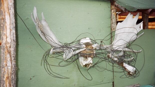 A set of moose antlers tangled in telephone wires found at Mile 170 on the Canol Trail. The 1,600 kilometre Canol pipeline was built in the 1940s to move oil from Norman Wells, N.W.T. to Alaska. Part of the Cold War relic is now a hiking trail, but many hazards remain along the path.