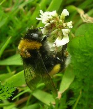 bumblebee with RFID tag