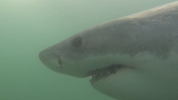 A great white shark like this one from Nova Scotia is believed to be lurking in the waters off Washington State