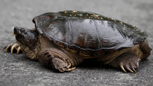 Snapping turtles in the wild can grow up to about 36 kg, and are found in Canada from the extreme southern reaches of the Prairies and throughout the entire southeast of the country.