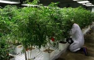 Medical Marijuana Taxes 20140624