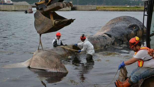 The Department of Natural Resources dragged this 15-metre fin whale away Thursday to be buried.