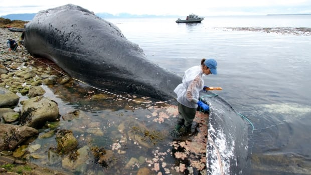 Aleria Jensen, right, a marine mammal stranding coordinator, measures the length of a female humpback whale while University of Alaska Fairbanks marine biology graduate student Suzie Teerlink holds the other end of the line during a necropsy near Funter Bay, Alaska. The 48-foot cetacean had been been seen in the waters of southeast Alaska for nearly 40 years but was found dead July 1.