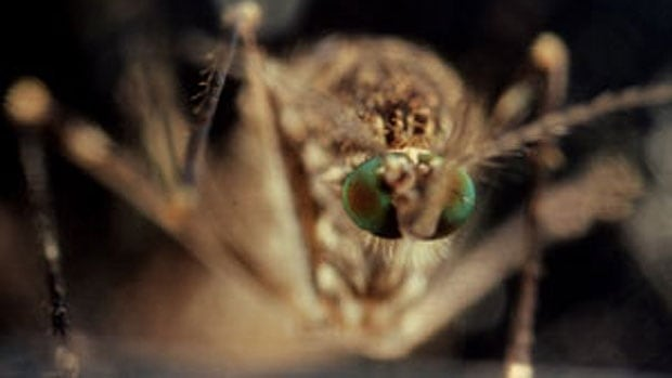 Mosquito fogging scheduled for Sunday night has been cancelled due to low trap counts.