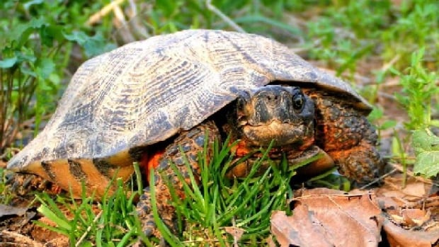 Two of the eight species of turtle that live in Ontario, spotted and wood turtles, above, are classified as endangered. Others are considered 'at risk.'