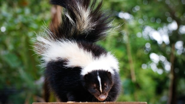 Anyone who spots a skunk in Cape Breton should contact the Department of Natural Resources.