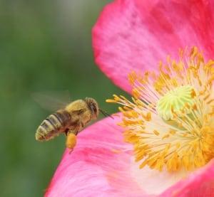 Honeybee at a poppy flower