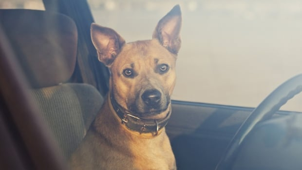 The B.C. SPCA received received well over 1,000 calls of dogs in hot vehicles in 2015.