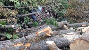 Reg Anderson cuts firewood from pile of Arthur-damaged trees in Fredericton