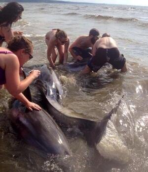 beachgoers rescue white-beaked dolphins