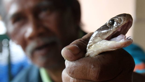 Cobras are highly venomous snakes, but Dutch authorities says an antivenin is available if somebody is bitten.