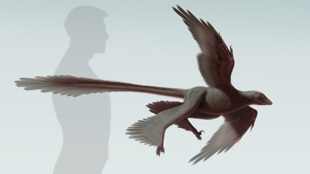 This illustration of the newly discovered feathered dinosaur, Changyuraptor yangi, shows its exceptionally long tail feathers, the longest feathers of any dinosaur found so far.