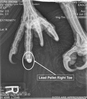 Eagle x ray