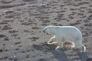 Polar bear aerial survey