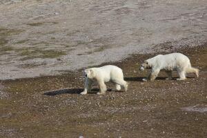 Polar bear males aerial survey