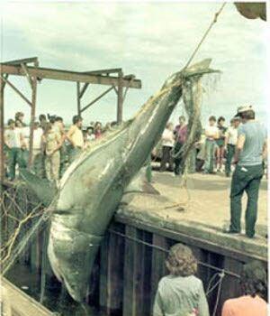 P.E.I. shark