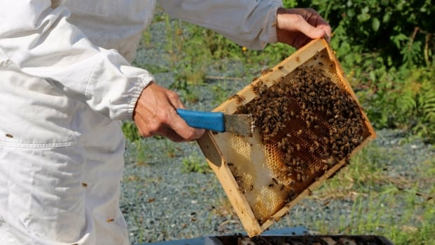 Newfoundland's healthy honeybees are an increasing draw for researchers in the race to understand why colonies across much of the globe are struggling or dying off.