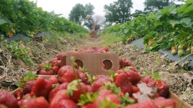 Local growers in Nova Scotia must wait for their berries to ripen in late spring, then compete with imported berries from Florida, California and Mexico that are sold in Canadian grocery stores year-round.