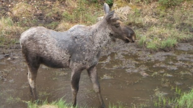 Researchers have discovered that moose saliva may help the animal control potentially toxic vegetation in the bush.