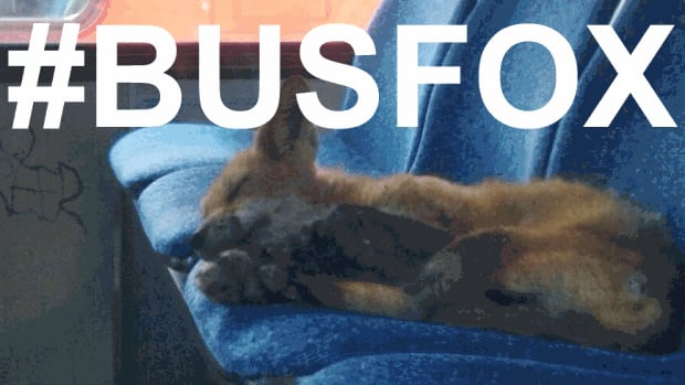 It didn't take long for the #busfox hashtag to trend in Ottawa after a cute photo of a fox was published online by the CBC's Stu Mills.