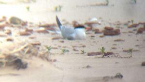 Tern on beach