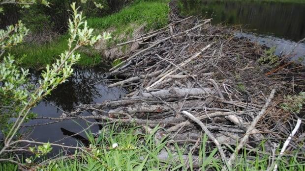 Broken Beaver Dam In Ont Leads To Fines For Alberta