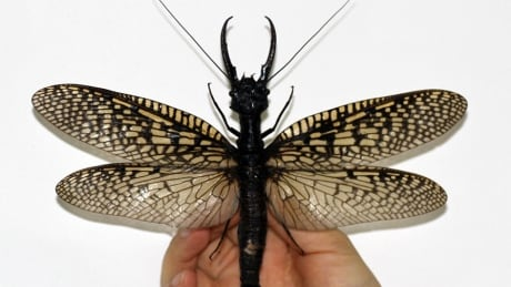 Megaloptera largest aquatic insect