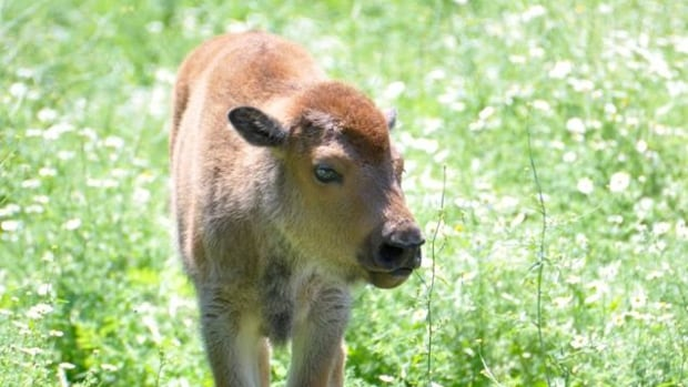 One of the two bisoncalves born in July at the Zoo.