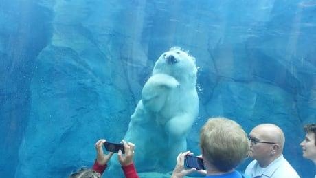 Polar bears chew through silicone in Winnipeg zoos underwater tunnel